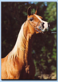 Gleeful Pico Yearling Portrait