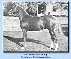 Abu Baha Yearling