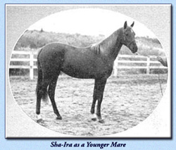 Sha-Ira as a Younger Mare